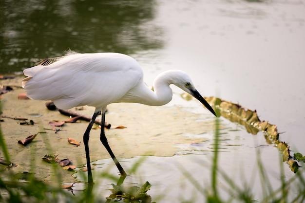Garça-branca andando pelo pântano