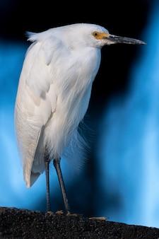 Garça-branca-da-neve
