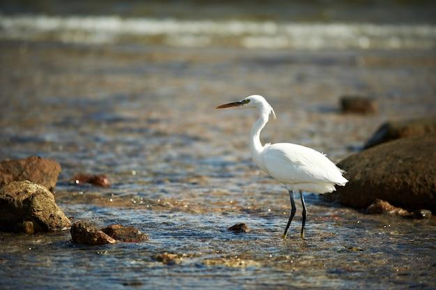 Garça branca enfrentada em pé na costa rochosa na costa do mar vermelho