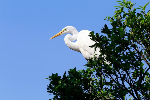 Garça-branca-grande em seu habitat natural