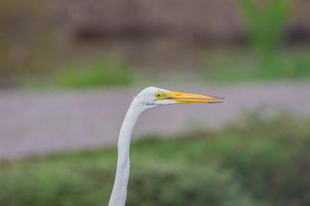 Garça-branca-grande na natureza
