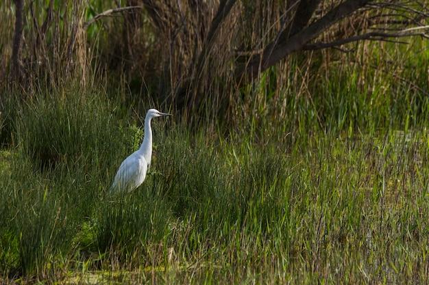 Garça-branca-grande na reserva natural de aiguamolls de l'emporda, espanha.