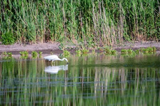 Garça-branca-grande ou ardea alba permanece na água