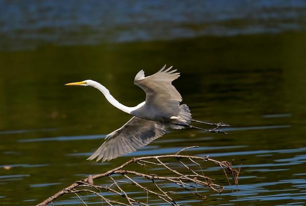 Garça-branca-grande voando sobre um lago perto de mansfield, geórgia