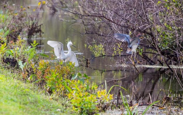 Garça-branca no parque nacional de everglades, flórida.