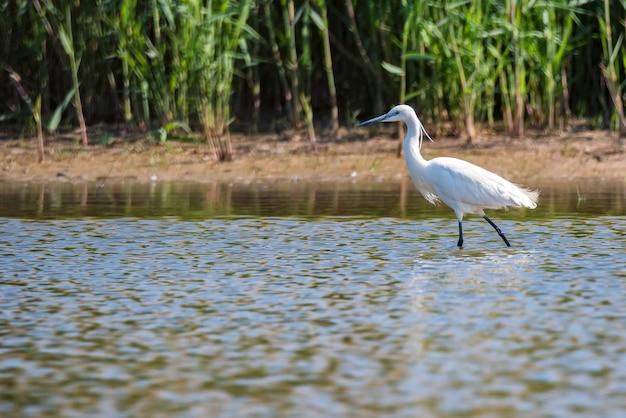 Garça-branca pequena ou egretta garzetta na lagoa