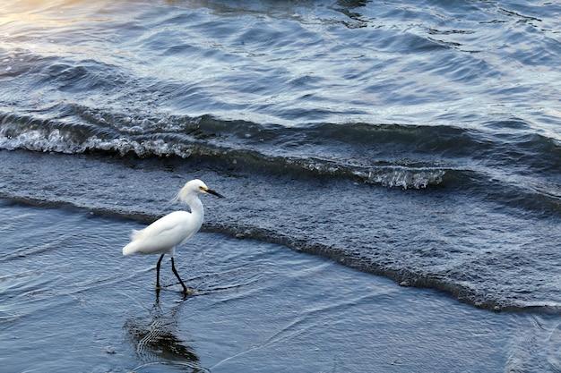 Garça-branca-pescadora na praia