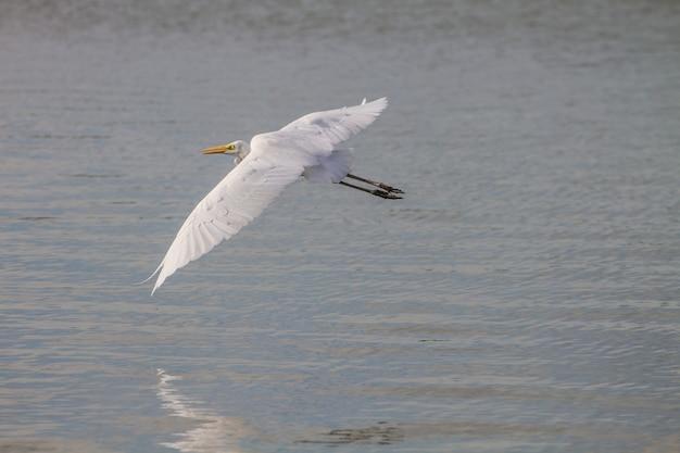 Garça-branca-voando na natureza