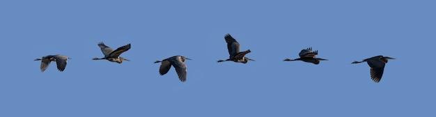 Garça imperial voando sobre o céu azul