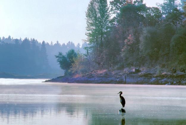 Garça na boca do lago oswego creek em oregon