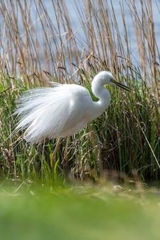 Garça-real-branca, garça-branca-grande, em pé no lago. aves aquáticas no habitat natural. cena da vida selvagem