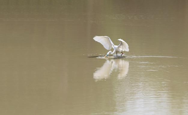 Garça-real branca ou água-mãe, pássaro do egret usando uma boca para travar peixes pequenos na lagoa.