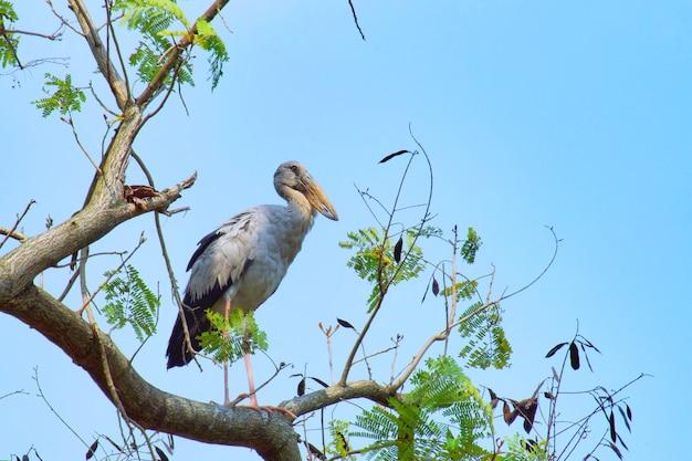 Garça-real cinzenta (água-mãe, egret) que está em uma árvore grande e que procura a vítima com céu azul.