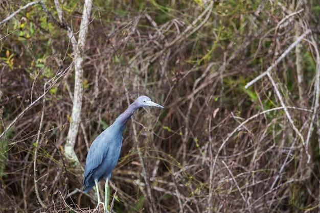 Garça-real cinzenta (ardea cinerea), parque nacional everglades, flórida