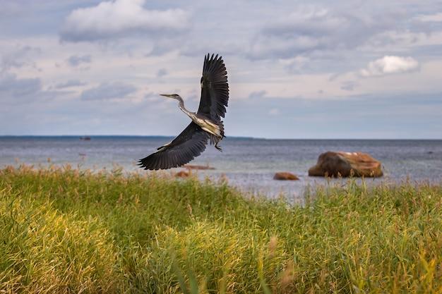 Garça-real cinzenta com asas grandes decola