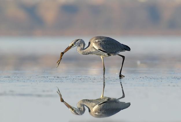 Garça-real cinzenta com peixes no bico. reflexo incomum na água.