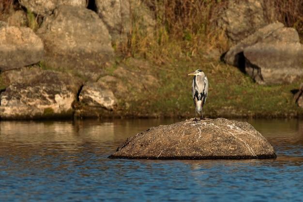 Garça-real cinzenta em seu ambiente natural