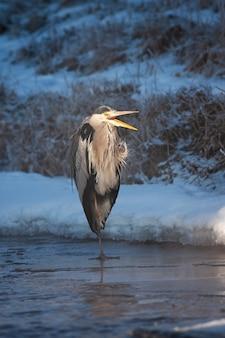 Garça-real em pé no gelo no inverno