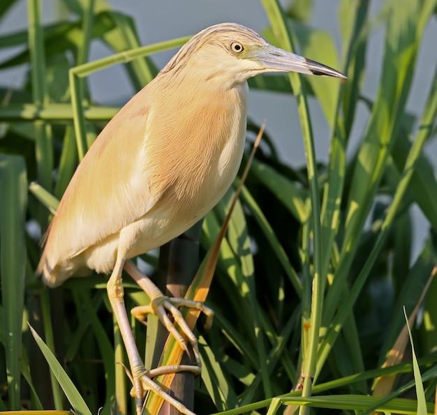Garça-real em plumagem reprodutiva posando na incrível luz da manhã de junco