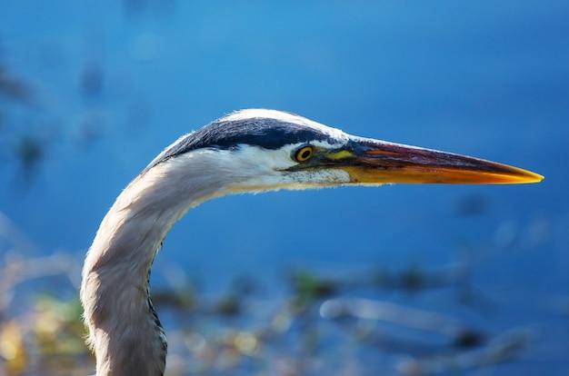 Garça-real posando em um pantanal da flórida