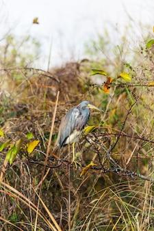 Garça-real tricolor (egretta tricolor) no parque nacional everglades, flórida, eua