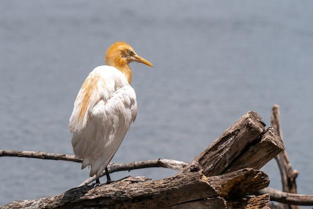 Garça-vaqueira bubulcus ibis coromandus na tailândia