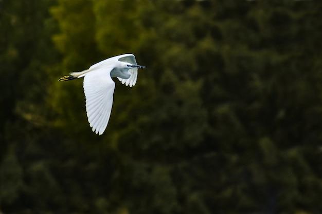 Garça-vaqueira pássaro em voo