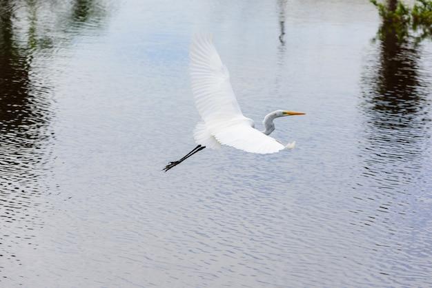 Garça voando na água