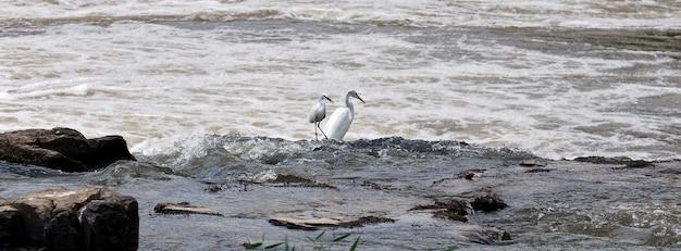 Garças-pescadoras no rio