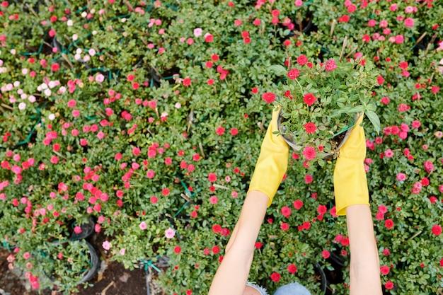 Gardenr pegando flor desabrochando