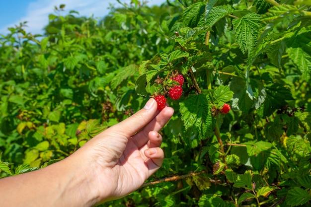 Garota em um dia de verão ensolarado pega framboesas vermelhas maduras de um arbusto verde.