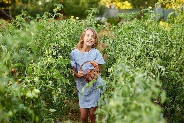 Garotinha com uma cesta na mão, se divertindo, colheita de tomates vermelhos orgânicos na jardinagem doméstica