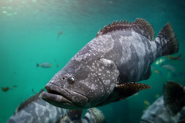 Garoupa gigante ou peixe garoupa manchado marrom.
