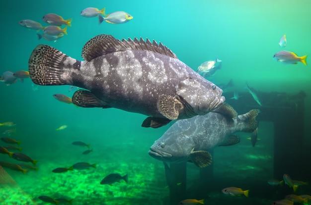 Garoupa gigante ou peixe garoupa marrom nadando sob a água do mar verde