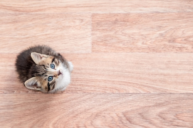 Gatinho à espera de comida. gatinho listrado sentado no chão de madeira, lambendo e olhando para a câmera
