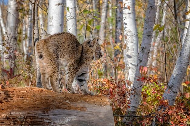 Gatinho bobcat na floresta de vidoeiro no outono