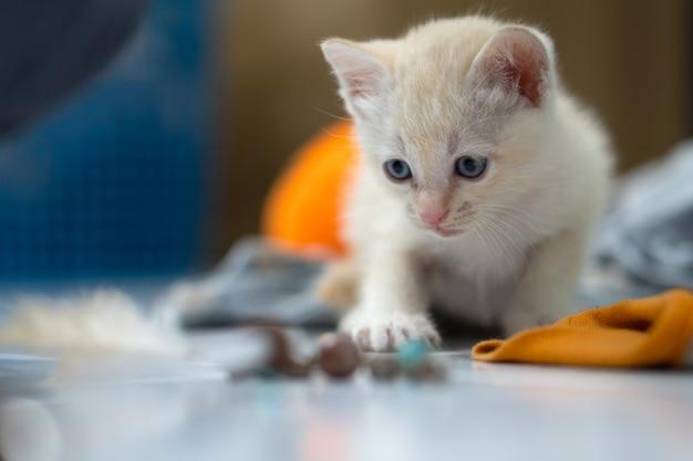 Gatinho branco tailandês, 1 mês de idade, em pé na casa.