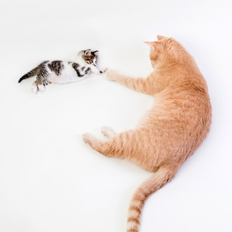 Gatinho brincando com um grande gato ruivo