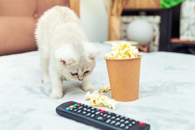 Gatinho britânico branco deita-se na cama com um controle remoto e pipoca. visualização de filmes clássicos.