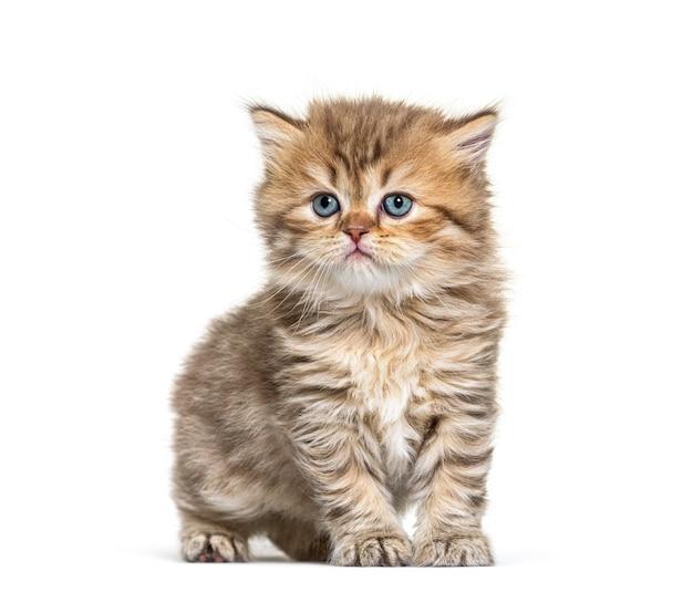 Gatinho britânico de pelo comprido sentado, isolado no branco