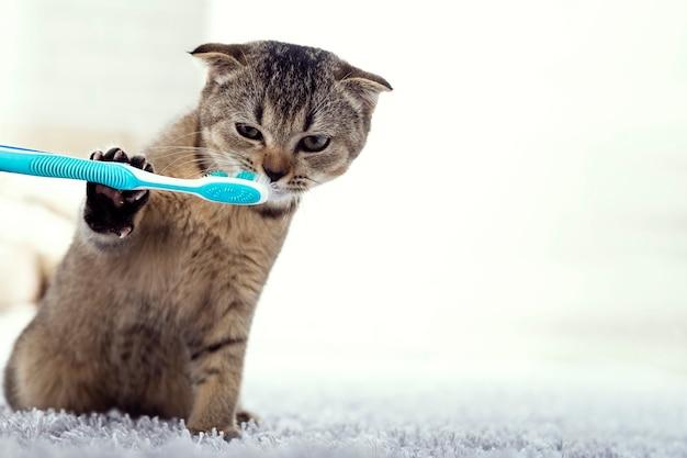 Gatinho britânico e uma escova de dentes
