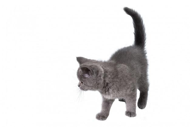 Gatinho britânico, olhando para cima isolado no branco