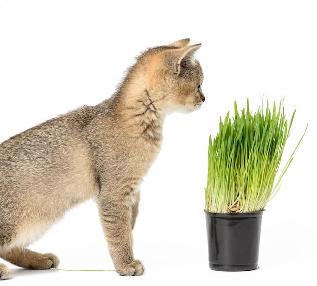 Gatinho, chinchila escocesa com tiquetaque dourado reto sentado em um fundo branco, ao lado de um vaso de grama verde crescendo