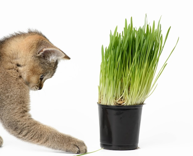 Gatinho, chinchila escocesa com tiquetaque dourado reto sentado em um fundo branco, ao lado de um vaso de grama verde em crescimento
