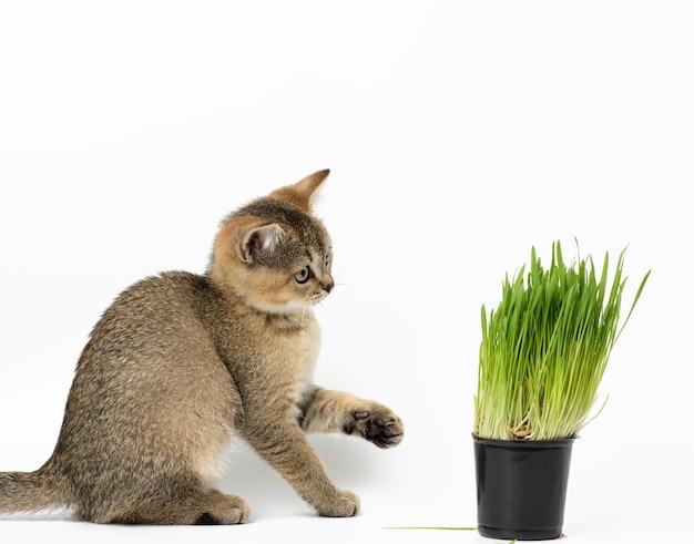 Gatinho, chinchila escocesa com tiquetaque dourado reto sentado em um fundo branco, próximo a um vaso de grama verde