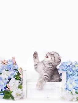 Gatinho cinza britânico senta-se em uma caixa com flores sobre fundo branco. o gato scottish fold olha para cima e pula.