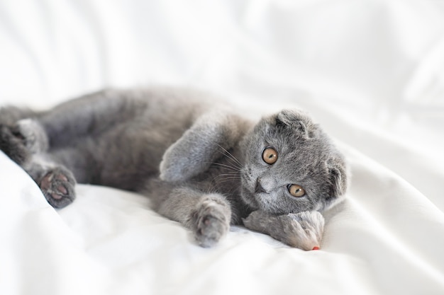 Gatinho cinza escocês deitado com seu camundongo de pelúcia na cama branca, close-up retrato