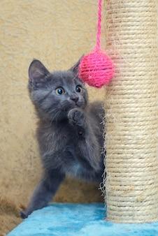 Gatinho cinza fofo e engraçado brincando com uma bola rosa