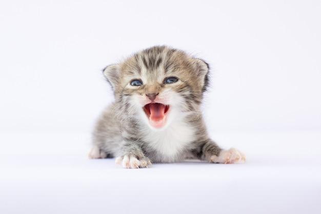 Gatinho cinza recém-nascido chorando