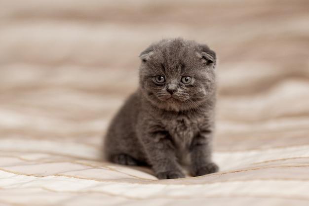 Gatinho cinzento britânico senta-se em uma manta